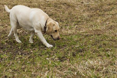 luz natural: Golden Labrador walking in the spring park, natural light