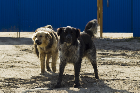 fulvous: Two mongrel dogs barking on the background of blue metal fence, sunny day Stock Photo