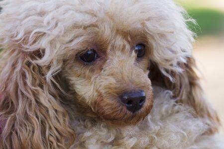 miniature poodle: Dog Toy Poodle apricot color for a walk