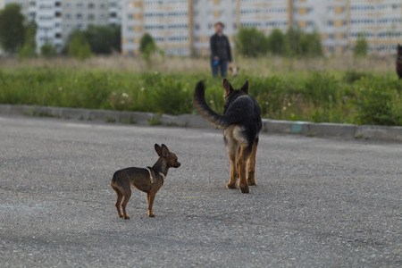 alsatian: Russian toy terrier and a puppy Alsatian dog for a walk in the city, the evening light