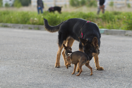 hunter playful: Russian toy terrier and a puppy Alsatian dog for a walk in the city, the evening light
