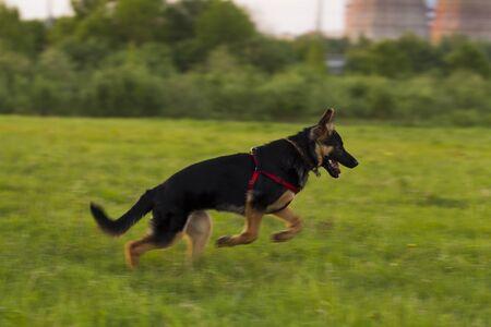 hunter playful: Puppy Alsatian dog in a field on a background of green grass, evening light