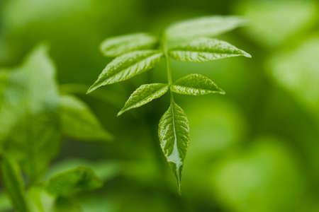 luz natural: Las gotas de lluvia en el follaje verde, luz natural, Macro Foto de archivo