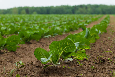 luz natural: Field planted with seedlings of cabbage, natural light
