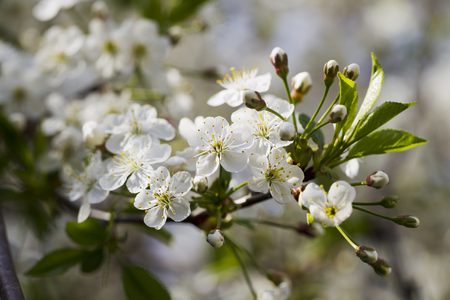 soft diffused light: White flowering cherry spring day on a background of blue sky, sunshine, Macro Stock Photo