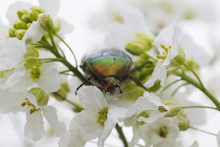 luz natural: Verde Escarabajo del abejorro de flores de oro en luz blanca, natural, macro Foto de archivo