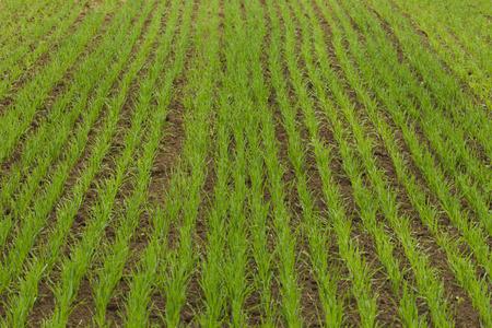 luz natural: Campo de granja cereales sembrados, la luz natural