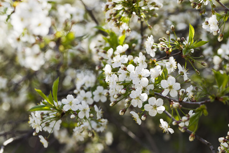 White flowering cherry spring day on a background of blue sky, sunshine, Macro Stock Photo