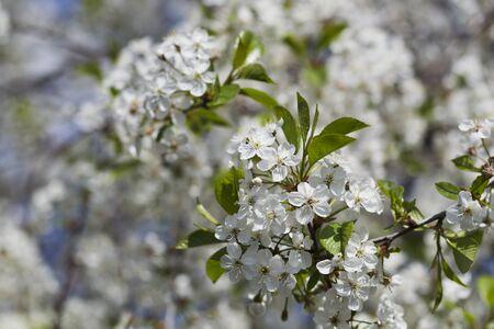 White flowering cherry spring day, sunlight, Macro