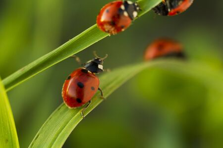 coccinella: Beetles ladybug in green grass, sunlight, Macro Stock Photo