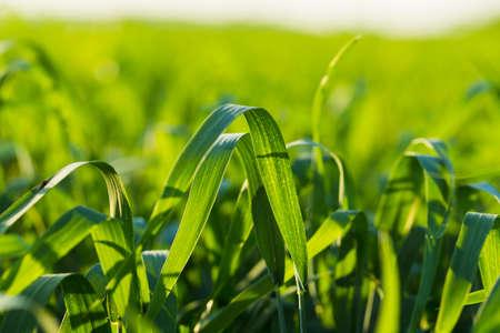 luz natural: Campo de granja cereales sembrados, luz natural, paisaje