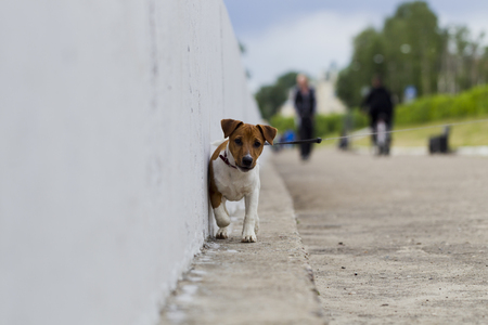 jack tar: Puppy Jack Russell Terrier for a walk in the city, natural light