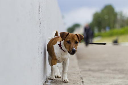 Puppy Jack Russell Terrier for a walk in the city, natural light