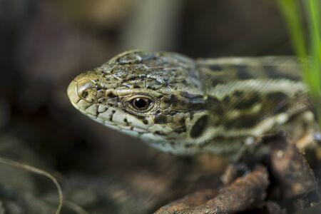 Forest lizard hidden in the grass, sunlight, Macro