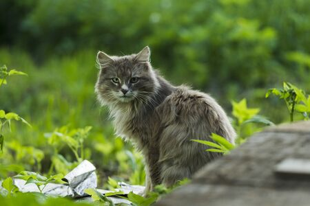 ambient light: Sitting gray cat on a background of green grass, the natural ambient light
