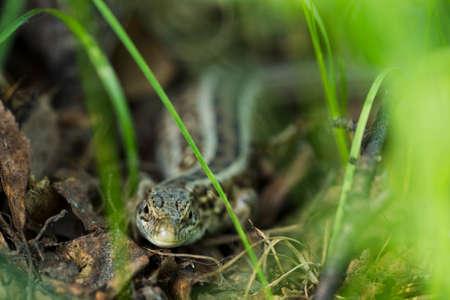 coldblooded: Forest lizard hidden in the grass, sunlight, Macro