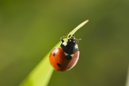 septempunctata: Beetles ladybug in green grass, sunlight, Macro Stock Photo