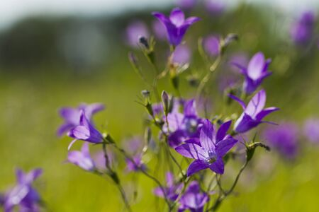 fields of flowers: Flowers bells on the background of green grass illuminated by sunlight, Macro Stock Photo