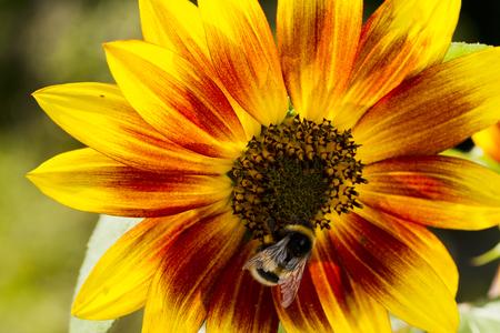 luz natural: Bumblebee on a flower collecting pollen sunflower, natural light, Macro Foto de archivo