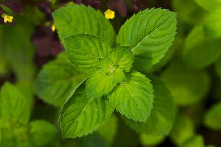 luz natural: Frescas hojas de menta verde, luz natural, Macro