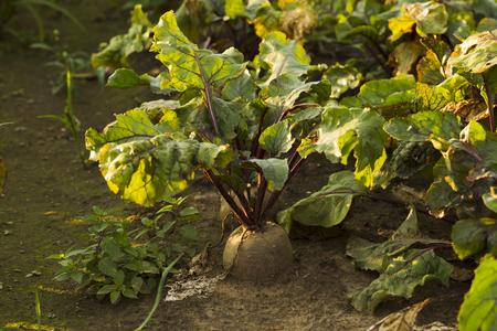 Cultivo de la remolacha en un campo, la luz del sol cosecha fresca