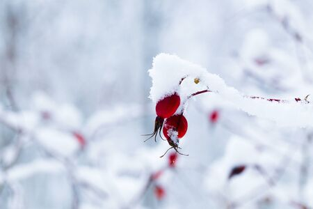 weightless: Rose hips on the branches covered with snow, daylight Stock Photo