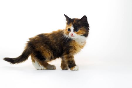 Small furry three-colored kitten on a white background Stock Photo