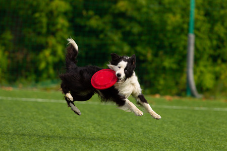 Border collie catches the disc, playing. Summer day. Natural light.