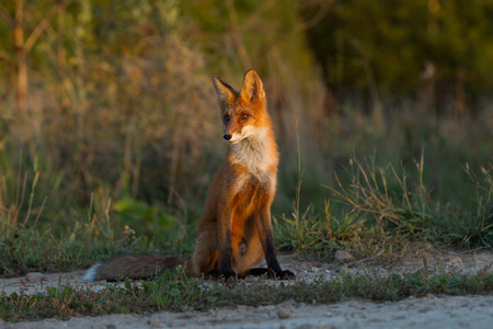 A cute, young, fiery, red fox cub sits, lit by the evening sun, against the background of grass. Look to the side. Evening light. One. Landscape.