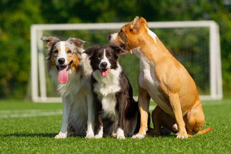 Border Collie and Staffordshire Terrier are sitting on the green grass against the background of a football goal on a sunny summer day 免版税图像