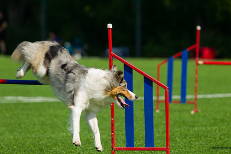 Border collie jumps over the barrier in agility training, nature light, sunlight, summer day