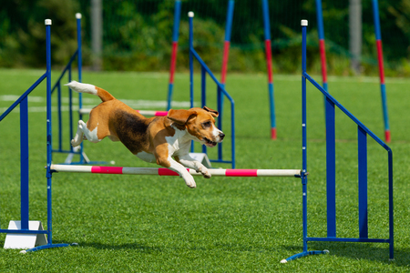 The dog performs at agility competition. Beagle dog jumping over obstacles. Summer day. Nature light