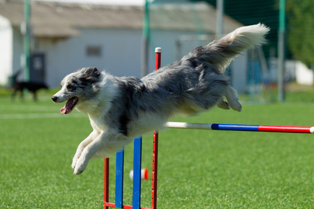 The dog performs at agility competition. Border Collie is a silvery white, gray color Banque d'images - 112327378