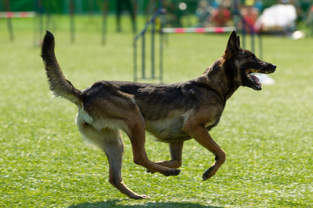 The dog performs at agility competition. Belgian Shepherd runs on the background of green grass. Sunlight