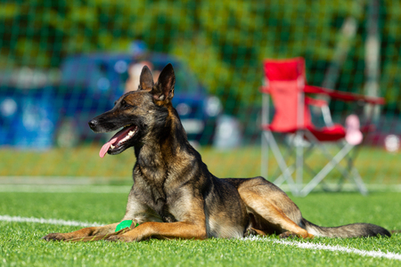 The dog performs at agility competition. Belgian Shepherd resting during a break in the competition. Sunlight
