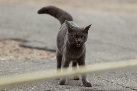 Angry Russian blue cat walks in the city during the day, overcast day, diffused natural light Imagens