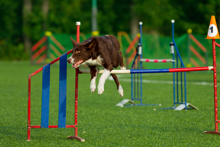 The dog performs at agility competition. Border Collie. Summer day. Nature light Reklamní fotografie