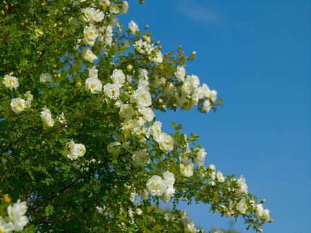 Rose-hip bush with white flowers in the garden in the village on a summer sunny day