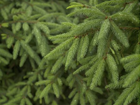 Fir branches, young fresh shoots, natural light, horizontal frame, background