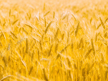 Grain field, yellow, fresh harvest, sunny day, summer natural background, landscape