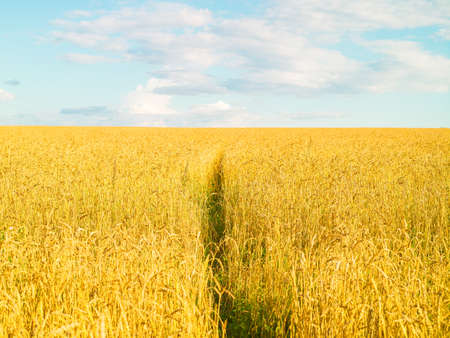 Grain field, yellow, fresh harvest, blue sky with clouds, sunny day, summer natural background, landscape
