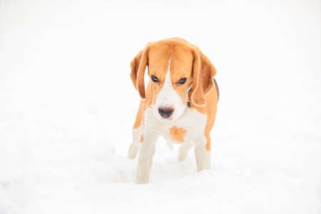 English beagle puppy, the dog looks from under the forehead, stands on a background of white snow look into the camera
