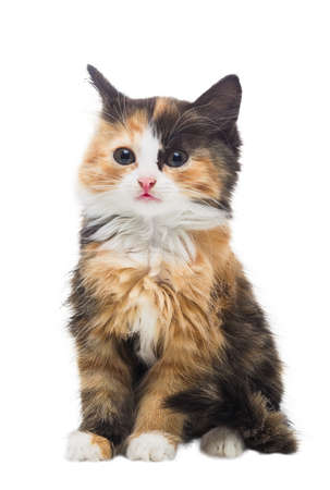 Two month old small fluffy tricolor kitten on an isolated white background