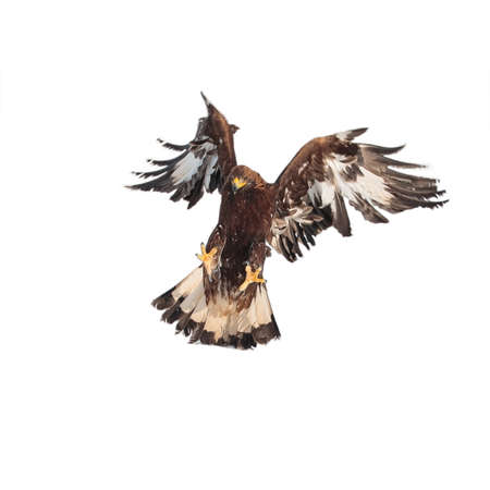 Flying attacking golden eagle, Aquila chrysaetos, against an isolated white background