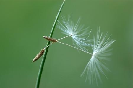 Fruits of a dandelion photo