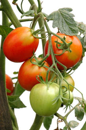ripening: bunch of ripening tomatoes