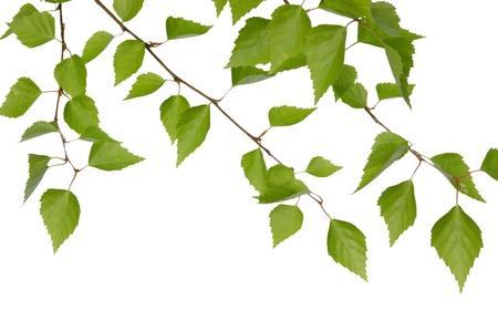 rama: ramas de abedul sobre un fondo blanco aislado