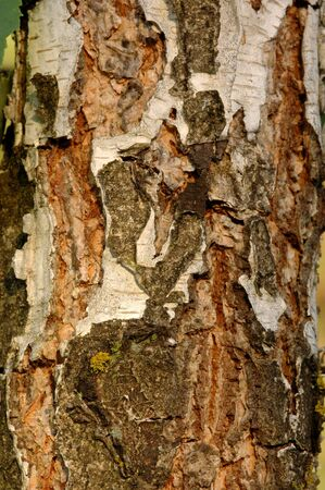 bark: birch bark of the young, natural light Stock Photo