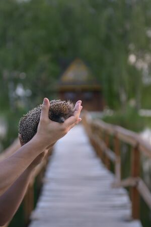 Hedgehog in the hands on the natural background