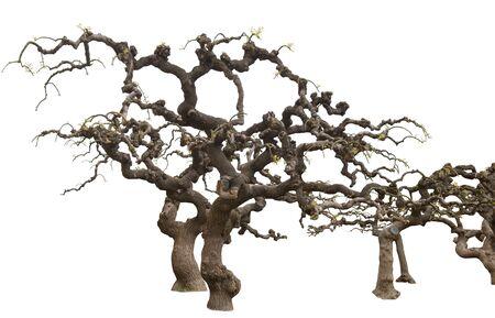 Beautiful Trees isolated on white. Japanese Sophora